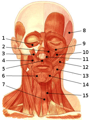 The muscles of the face