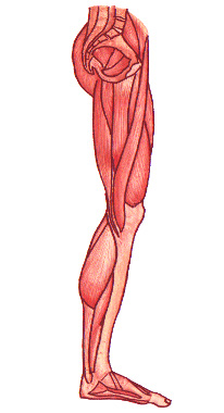 Free Anatomy Quiz - Muscles of the Lower Limb, Origins and ...