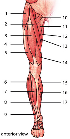The muscles of the lower limb, anterior aspect
