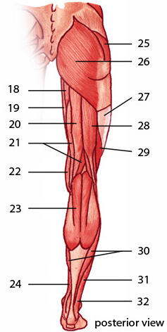 The muscles of the lower limb, posterior aspect