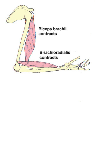 The action of the brachioradialis and the biceps brachii - contracted