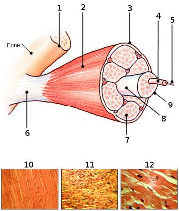 Muscle Tissue Diagram Quiz - Block And Schematic Diagrams •