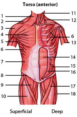 Free Anatomy Quiz - Muscles of the Torso Anterior Locations, Quiz 1