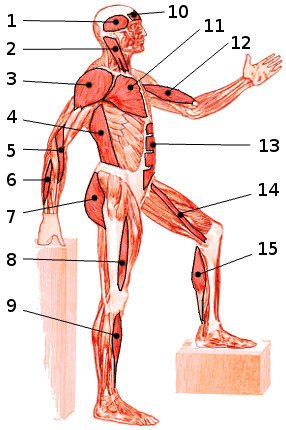 free anatomy quiz - muscles of the whole body, locations quiz 4, Muscles