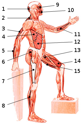 The muscles of the body, side view 2