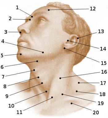 Free Anatomy Quiz - Surface Anatomy, The Head and Neck, Quiz 1