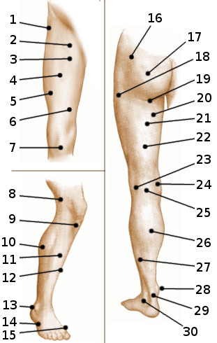 Surface anatomy of the leg