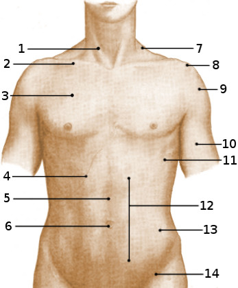 Surface anatomy of the torso, anterior