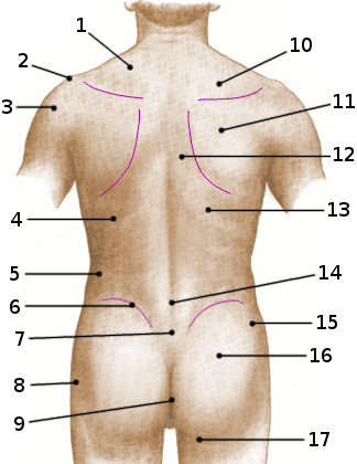 Surface anatomy of the torso, posterior