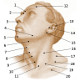 The surface anatomy of the human head and neck