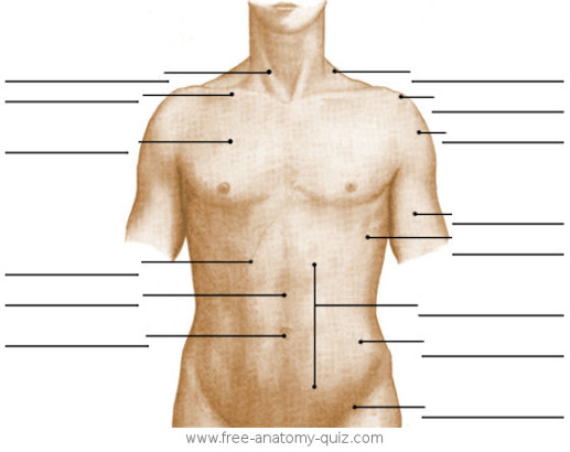The Surface Anatomy of the Torso (anterior) Image
