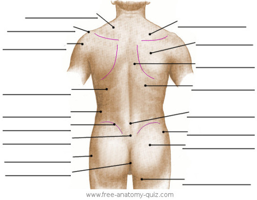 The Surface Anatomy of the Torso (posterior) Image